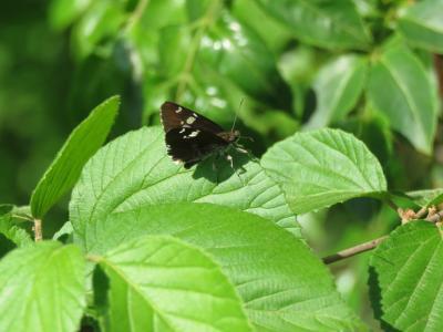 森のさんぽ道で見られた蝶⑤ダイミョウセセリが見られました