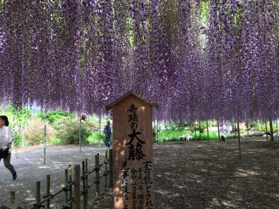 「春爛漫ネモフィラ・藤・つつじ・芝桜 を訪ねて」 第2日目