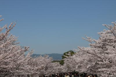 京都歩いて満開の桜鑑賞