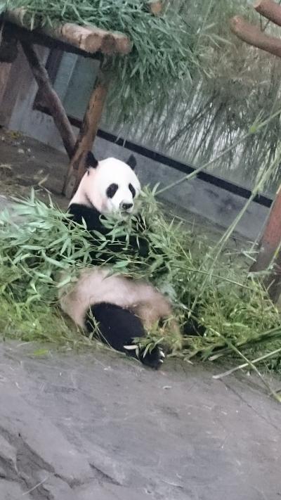 201805,GW,小学生と上海,3-1,野性動物園でパンダに初対面