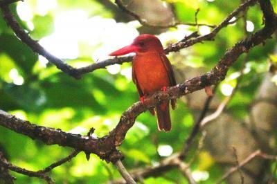 ビーチリゾート探訪は、もう卒業!これからは野鳥観察に路線変更。石垣島、西表島に飛んで、リュウキュウアカショウビン、カンムリワシに出会うぞ!の巻1:出発編。