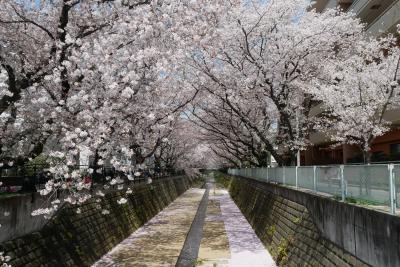 麻生川の桜