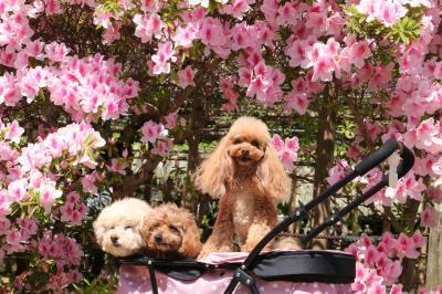 今年の花は駆け足で過ぎていく 曼荼羅寺の藤の花、西山公園のバラ,愛知県緑化センターのバラ♪