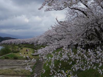 東北桜巡り2