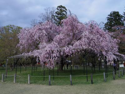 京都桜観光