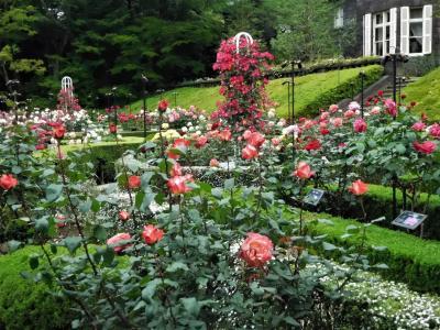 2017年5月 東京4日目 その2 旧古河庭園のバラ園で色とりどりのバラを見ました。