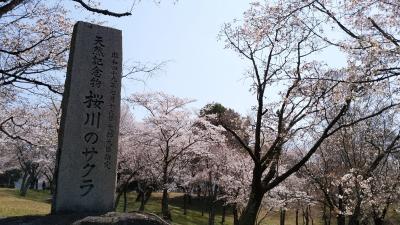 桜川のサクラめぐり・真壁の町並み・母子島遊水池の桜