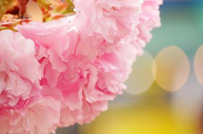 弘前城 遅咲き桜を追って