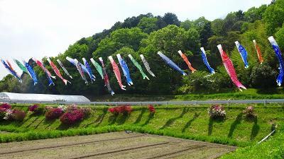 宝塚市 長谷牡丹園で満開の里帰りした牡丹を観る 下巻。