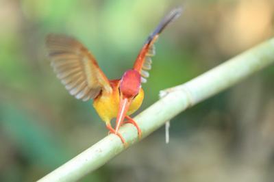 ルソン、ボホール、コロン/パラワン、ミンダナオに野鳥撮影に行ってきました。