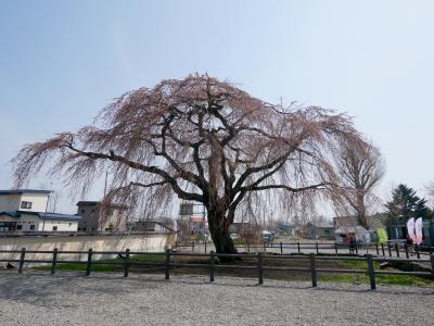 2018.4函館に桜を見に行く2-残念な3分咲きの法亀寺,松前藩戸切地陣屋跡の桜