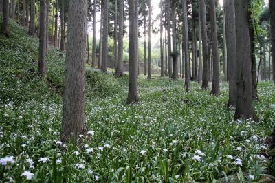 ムラゴンの旅日記 シャガの花の群生地(綾部市老富)を訪ねて