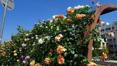伊丹郷町館からの帰りに、荒牧下ノ池緑地のバラを観賞しました。
