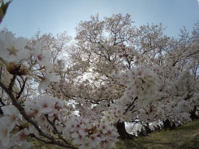 京都で桜三昧~♪