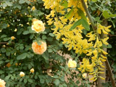 今年はバラ満開のあしかがフラワーパーク