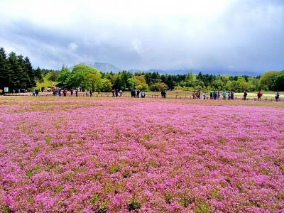 富士芝桜まつりと忍野八海バスツアー