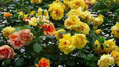 荒牧下ノ池緑地・・・バラの花が満開になっています。
