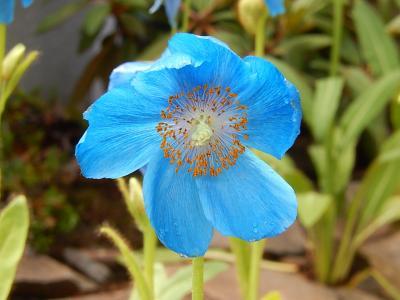 今年も箱根観光の旅を行う⑤箱根湿性花園へ・・・その2・青いケシの花を見る