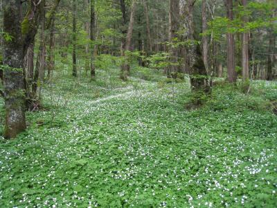 上高地のニリンソウの花