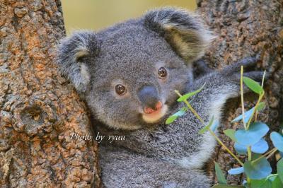 東山動物園 4月中旬から5月中旬までをまとめて!! そして2匹目のコアラの赤ちゃんの名前が決まりました!!