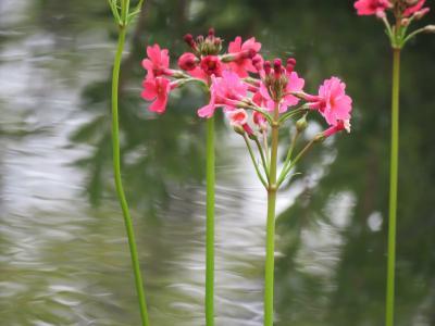 今年も箱根観光の旅を行う⑥箱根湿性花園へ・・その3・落葉広葉樹林の植物及び低層湿原の植物及びヌマガヤ草原の植物