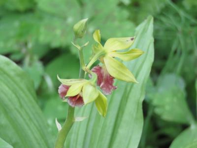 今年も箱根観光の旅を行う⑧箱根湿性花園へ・・その5・高層湿原の植物、仙石原湿原の植物、湿性林の植物