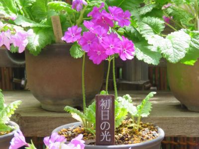今年も箱根観光の旅を行う⑨箱根湿性花園へ・・その6・サクラソウの園芸種展その他