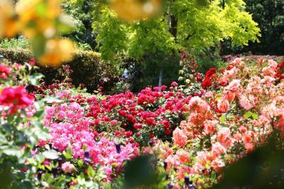 加奈ガーデン、薔薇の轍へ・・・