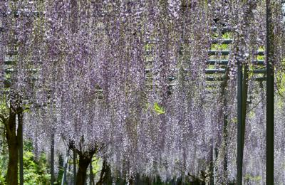 日本一長い藤棚ロード