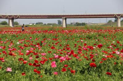 鴻巣市 日本一のポピー畑