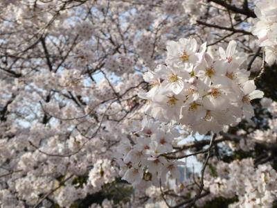 川口の美しい桜♪