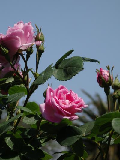 青空・新緑・バラがそろい踏みの須磨離宮公園