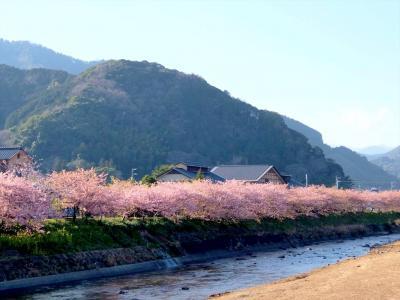 河津桜まつり【2016】