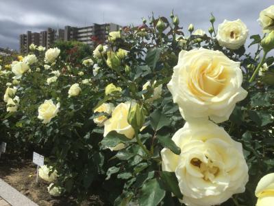 バラにうっとり おばちゃん2人福山バラ祭り  日帰りの旅