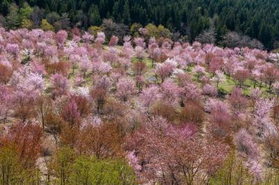 福島の隠れた桜名所を巡る撮影旅行