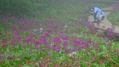 六甲高山植物園(2) クリンソウの群生地。
