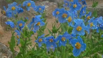 六甲高山植物園(5)完 ロックガーデンの青いケシの花等と帰路。