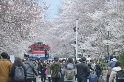 暖かい春にはココ!昌原(チャンウォン)桜の名所