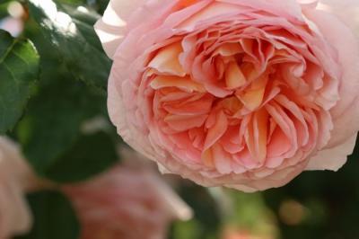 福山SA薔薇