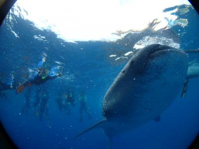 ★51ヵ国目★セブ島でジンベイザメと戯れるの巻