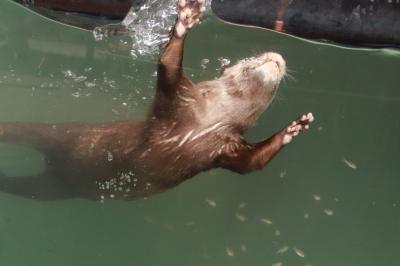 動物たちに癒されたくてふらっと出かけた智光山公園こども動物園~水中で踊るように餌を獲っていたコツメカワウソやおかえり橋でそわそわのテンジクネズミたち~ブラジルバクの表敬訪問忘れた!