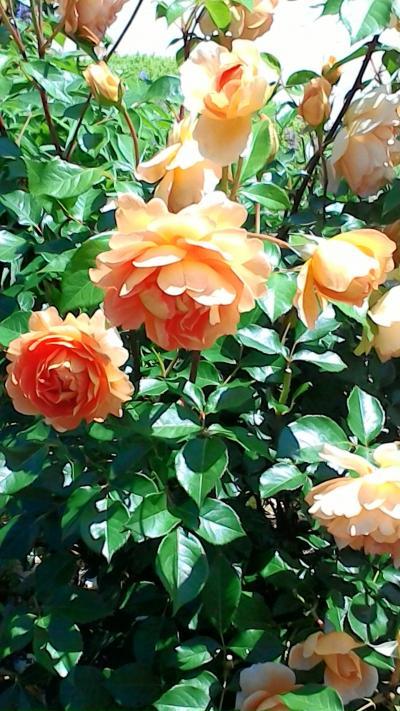 薔薇三昧な贅沢な日々