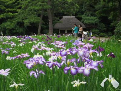 小石川後楽園の花菖蒲を見に行く