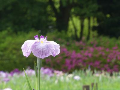 つつじが岡第二公園のハナショウブ_2018_咲き始めました。北側は半分くらい咲いています。(群馬県・館林市)