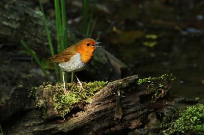 野鳥観察vol.10 コマドリという鳥を撮る。