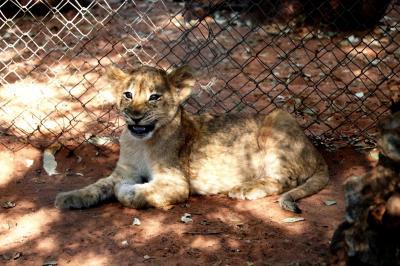 ライオン&チーターのお散歩