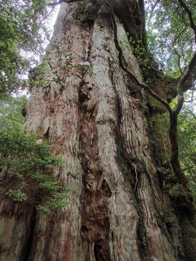 ヘタレの爺さん 種子・屋久航海記 ④ 屋久杉の森に癒されて