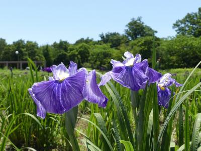別府沼公園のハナショウブ_2018_だいぶ咲き始めていて、見頃が近そうです。(埼玉県・熊谷市)