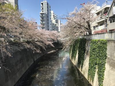 神田川でお花見ウォーキング