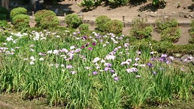 本日6月2日から開催。「清澄庭園 花菖蒲とあそぶ」